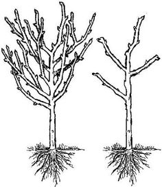 How to prune fruit trees: Pruning made easy!