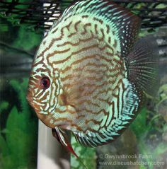 adult red turquoise discus fish