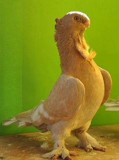 Brown blondinette oriental frill pigeon