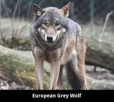 The gray wolf or grey wolf (Canis lupus[a]), also known as the timber or western wolf,[b] is a canine native to the wilderness and remote areas of Eurasia and North America. Sun Tzu, Wolf Name, Prague Zoo, Canis Lupus, Ranger, Timber Wolf, Wolf Pictures, Animals, Tatoo