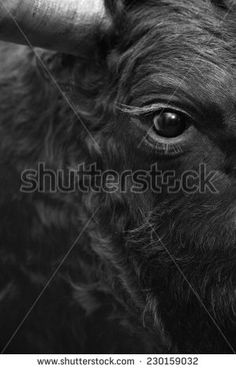 stock-photo-fighting-bull-head-detail-in-black-and-white-vertical-230159032.jpg (299×470)