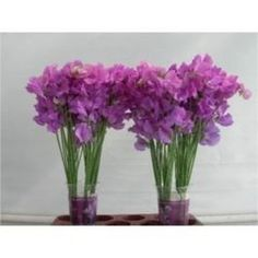 New Product Showcase!  Sweet Peas Winter Sunshine Mauve from iBuyFlowers. Grower VDK from Holland. Over 3300 products and growing weekly.  Sign up today at iBuyFlowers.com  #growerdirect #farmfresh #flowers & #greens #tothetrade #freeshipping #florists #floralshops #floraldesigner #floraldesign #flowerart #aifd #cmf #plannners #eventplanners #weddingplanners  #ibuyflowers #weddingflowers #florist #flower #flowerstagram #bridalbouquet