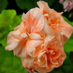 Bridesmaid var namnet på den här förtjusande Zonalpelargonen med dubbla orangea kronblad och gyllengröna blad. Så vacker ellerhur?! #pelargon #pelargonium #geranium #krukväxt #blommor #flowers #wexthuset #orange #lantliv #växter #plants
