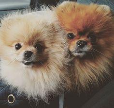 When we go to our grandma  #pomeranian  #jimbo_the_pom  #yusta  #pomeranians #pomeranianofinstagram  #pomeranianmania #dog #dogsofinstagram #fluffy #cute  #lovemypomeranian #happy #pomeranianlife  #dogphotographie  #pomeranianlovers #cutedog #pompom  #instapom #instadog #holiday #pomeranianworld #bear #dogsofinstagram #thedailypompom