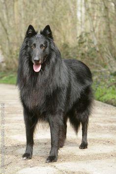 Groenendael – Black Belgian Shepherd ...........click here to find out more http://1.googydog.com