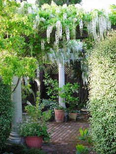 Wisteria pergola Note. Make sure to allow to grow sideways.