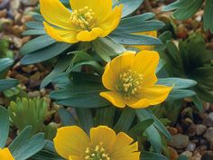 140 best eranthis images on pinterest in 2018 beautiful flowers yellow winter aconite aconites grow from small knobby tubers the winter aconite produces bright yellow flowers in late winter and early spring mightylinksfo