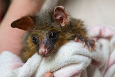 A possum, found stressed and dehydrated after the fires is another native animal under Chris Litchfields care.
