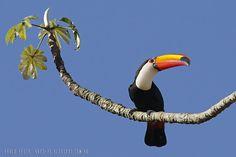 mis fotos de aves:  Ramphastos toco Tucán grande Toco toucan                                                                                                                                                                                 Más