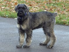 Giant Schnauzers can be good with children and other dogs if socialized with them from an early age. Obedience training is highly recommended for Giant Schnauzers. This breed is not for the first-time dog owner. Giant Schnauzers need to be exercised daily.