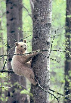 Spirit-Bear