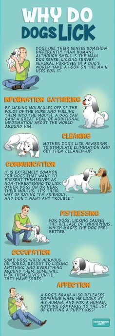 Do you wonder why your dog licks anything and everything? There are several reasons behind dog licking, check it out! Cesar Millan, Love Pet, I Love Dogs, Baby Dogs, Pet Dogs, Doggies, Why Do Dogs Lick, Dog Facts, Dog Behavior