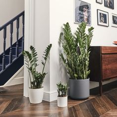 Let Patch help you bring greenery into your home with Living Room Plants. Delivered to your door throughout the UK, Patch makes urban gardening stress-free. Big Indoor Plants, All Plants, Types Of Plants, Live Plants, Plante Zz, Suculent Plants, Corn Plant, Zz Plant, Living Room Plants