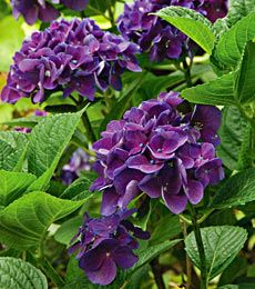 Hydrangea macrophylla Color Fantasy® - Savor the rich colors of this little gem, with its reddish or deep purple flowers and shiny, dark green leaves. Blooms In: May-Jun Height: Hydrangea Macrophylla, Hydrangea Shrub, Hortensia Hydrangea, Hydrangea Colors, Blue Flowers, Purple Hydrangeas, Garden Shrubs, Shade Garden, Garden Plants