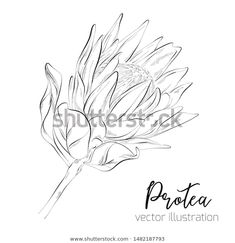 Botanical Illustration, Botany, Line Art, Moose Art, How To Draw Hands, Royalty Free Stock Photos, Black And White, Drawings, Floral
