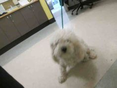 ★❥★ADOPTED★❥★~ Animal ID #A1554078   ‒ I am a Male, White Miniature Poodle. The shelter does not know how old I am. I have been at the shelter since May 08, 2015.   East Valley Animal Care and Control Center  Telephone ‒ (888) 452-7381 14409 Vanowen Street Van Nuys, CA Fax: (818) 756-9110 https://www.facebook.com/OPCA.Shelter.Network.Alliance/photos/pb.481296865284684.-2207520000.1431154499./819125668168467/?type=3&theater