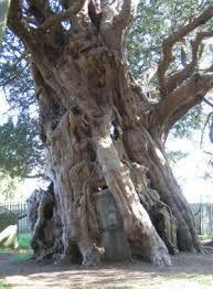 Ook in West-Europa komen eeuwenoude bomen voor. De oudste zijn ongetwijfeld de taxussen (Taxus baccata)