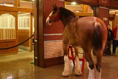 Did the tour at Budwiser in St. Louis, MS and got to see the Clydesdale's