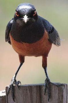 チャバラテリムク Hildebrandt's starling (Lamprotornis hildebrandti)