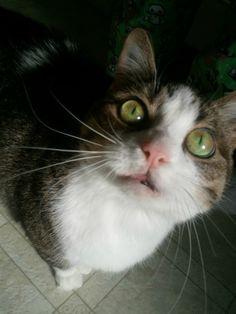 Heidi demands attention. cute cat