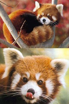 Save Our Green » Red Panda
