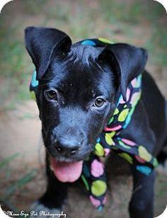 Fayetteville, WV - Labrador Retriever Mix. Meet Storm, a puppy for adoption. http://www.adoptapet.com/pet/13737171-fayetteville-west-virginia-labrador-retriever-mix