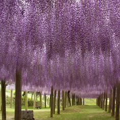 ohhh ahhh wisteria will be in my agrden for sure along with crepe mertyles! Imagine yummy green grapes haning among the pretty purple flowers!...bliss!