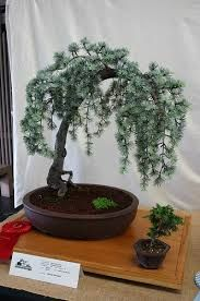 blue atlas weeping cedar bonsai - Google Search