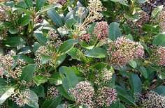 Skimmia japonica 'Fragrans' (for shady areas): apparently tolerates neglect.