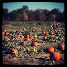 An #Ohio #pumpkin farm near #Yellowsprings #fallOhio
