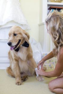 golden getting ready for the wedding!