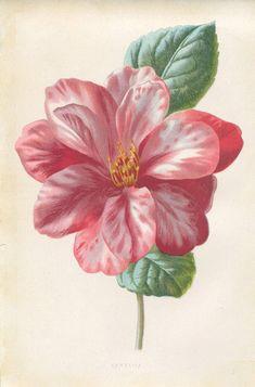 Antique Original Original Coloured Bookplate Color Book Plate Vintage Print E. Hulme Familiar Garden Flowers 1890 Camellia Flower. via Etsy. - Picmia