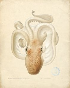 iCanvas Octopus - Die Cephalopod - 1915 - Plate 76 Gallery Wrapped Canvas Art Print by Print Collection Art And Illustration, Illustrations, Botanical Illustration, Octopus Illustration, Octopus Sketch, Le Kraken, Octopus Print, Octopus Painting, Painting Art