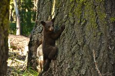 Bear cub in Sequoia National Park with C.