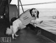 Butch, a Spaniel mascot, looks greenish aboard an American Navy ship. The most famous U.S. military dog was Chips, a German Shepherd-Collie-Husky mix that attacked and captured a crew of enemy machinegunners fortified in a pillbox in Sicily in 1943.