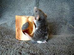 Baby Dumbo Rex Rat