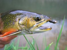 Top 10 Flies for Early-Season Driftless Area Spring Creeks - Orvis News