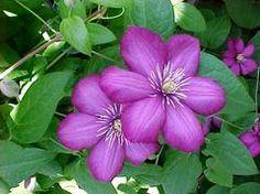 http://www.missouribotanicalgarden.org/PlantFinder/PlantFinderDetails.aspx?kempercode=u110