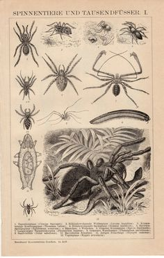 1895 Spiders and Millipede Antique Print, Centipede, Zoology, Arthropods, Insects, Tarantula, Pillbug, German Lithograph