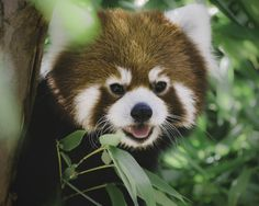 Bamboo is not a great food source for energy and is hard to digest. Red pandas need to eat 20 to 30% of their body weight each day—about 2 to 4 pounds of bamboo shoots and leaves. (photo: Paul E.M)