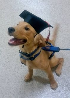 Now for the harsh reality that his degree in scoical studies is useless and he will be paying back his studient loans for the next 30 years. Puppy Training Classes, Puppy Classes, Training Your Puppy, Like Animals, Cutest Animals, Animal Jokes, Graduation Day, Cute Hats, Funny Dogs