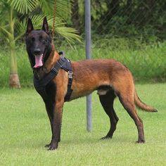 Still The Best Malinois . Berger Malinois, Belgian Malinois Puppies, Pastor Belga Malinois, Rottweiler, Dog Poems, Akita Dog, Belgian Shepherd, Schaefer, War Dogs