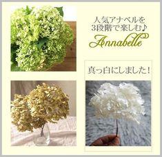 アナベルをご存じですか? 紫陽花の一種で、咲き始めから緑~白~茶~と、徐々に色の変化を楽しむことができます。ドライフラワーにも向いているので、ご自宅で育てたアナベルをドライフラワーにして飾っている方多いと思います。飴色のアナベルのドライフラワーを、真っ白に漂白する方法をご紹介します。 Plastic Resin, Fabric Flowers, Place Card Holders, Projects, Crafts, Wedding, Gardening, Log Projects, Valentines Day Weddings