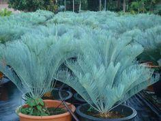 Palm Tree Flowers, Fruit Flowers, Tropical Garden Design, Tropical Plants, House Landscape, Landscape Design, Palm Trees Landscaping, Weird Trees, Sago Palm