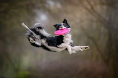 I'm Passionate About Canine Action And Portrait Photography - luisa Cat Dog, Dog Id, Jumping Dog, Animal Photography, Portrait Photography, Australian Shepherd Dogs, Collie Dog, Dog Agility, Family Dogs