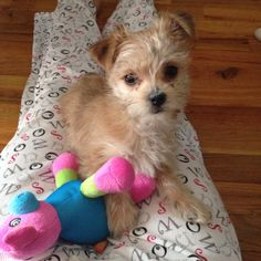 Baby Morkie