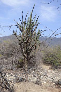 ZEE ÁMBITOS PRIORIZADOS MORROPÓN. cardo giganton (Armatocereus cartwrightianus)