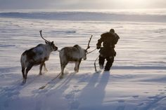 Traditional life in the Siberian Arctic - in pictures Arctic Animals, Arctic Fox, Baby Animals, Wild North, Pillars Of Eternity, Siberia Russia, She Wolf, Dog Stories, The Guardian