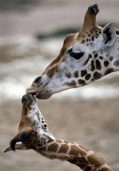 Mommy Giraffe Lovin' on Baby
