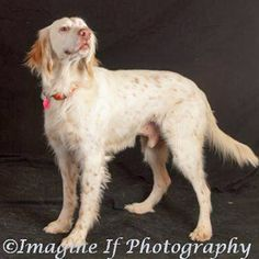 824fe5ace5 Southwest English Setter - Available-Dog-Toby See Videos